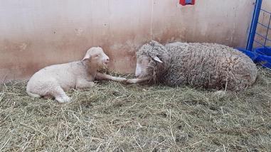 Sheep at Lismore Sheep Farm